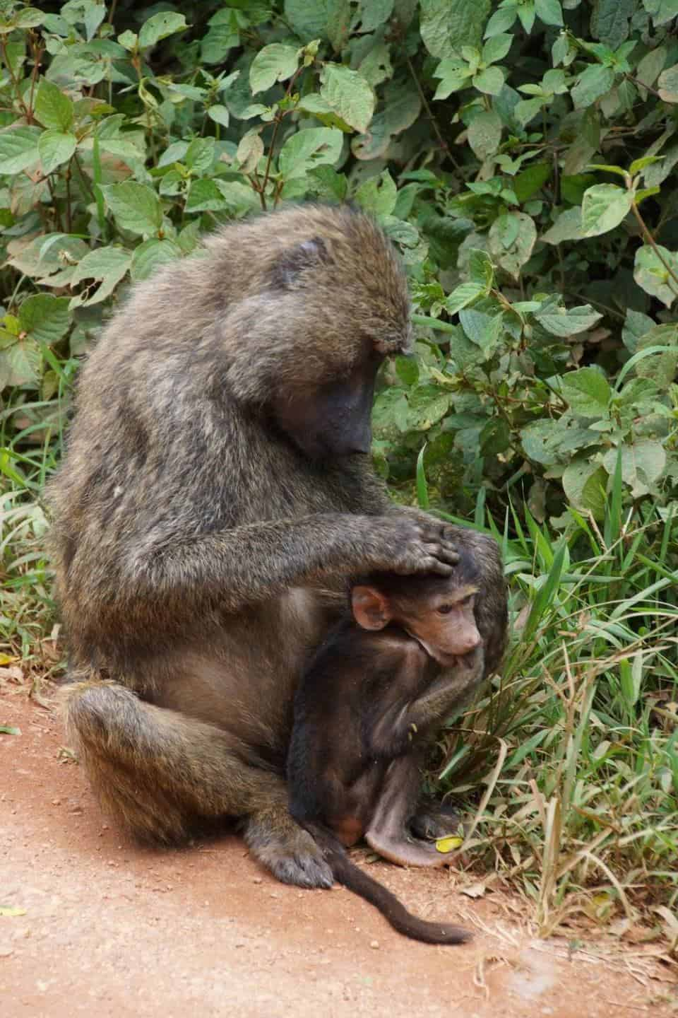 Baboons at the roadside