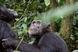 Chimps Grooming at Kibale National Forest