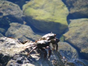 Crabbing in the Rock Pools, Purple Island