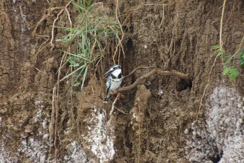 Birds nesting in the Kazinga Channel Embankment