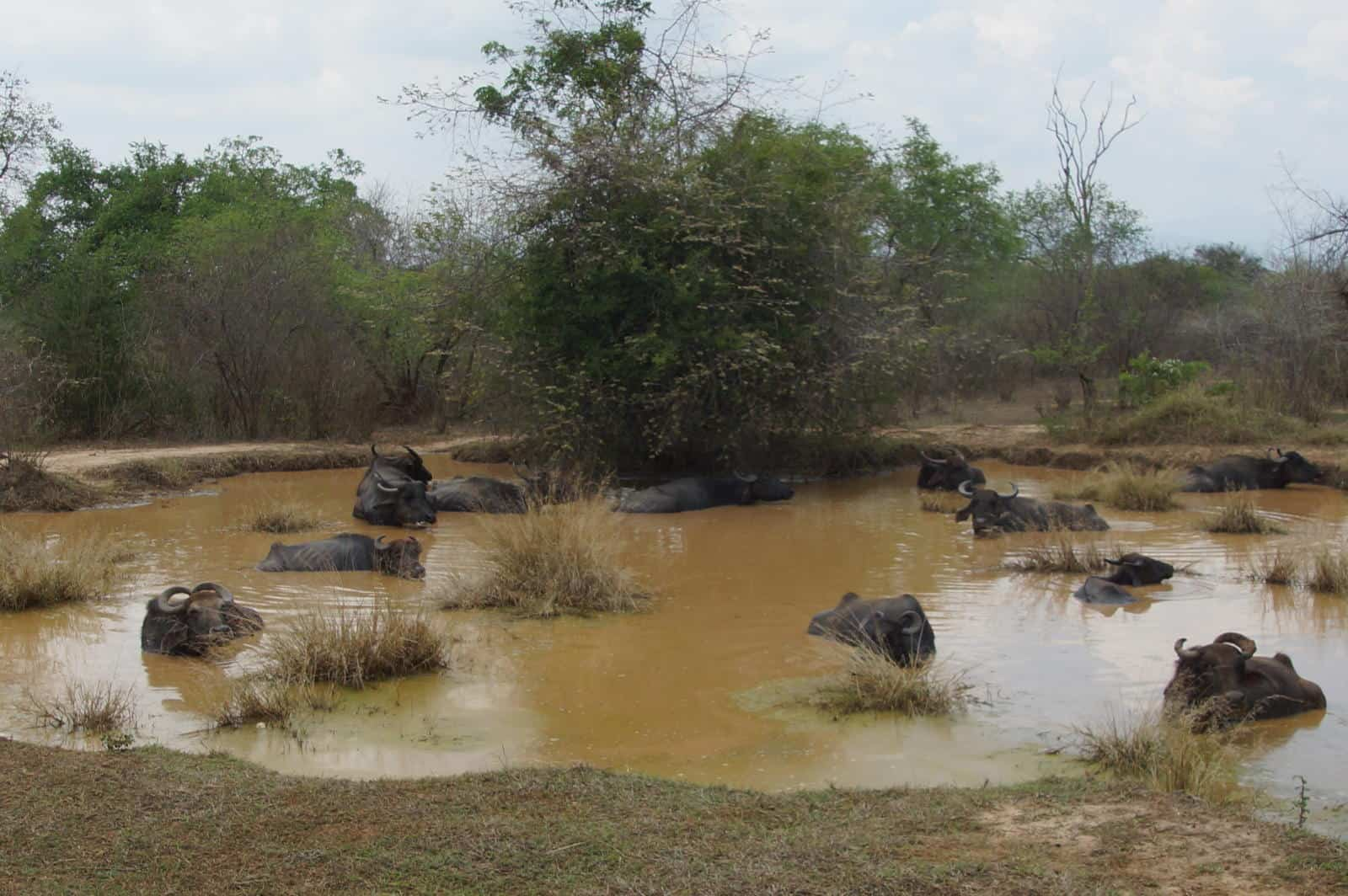 What wildlife can you see on an Udawalawe Safari - Sri Lanka Safari
