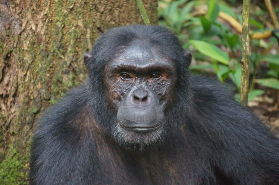 Chimpanzee Trekking at Kibale Forest National Park, Uganda