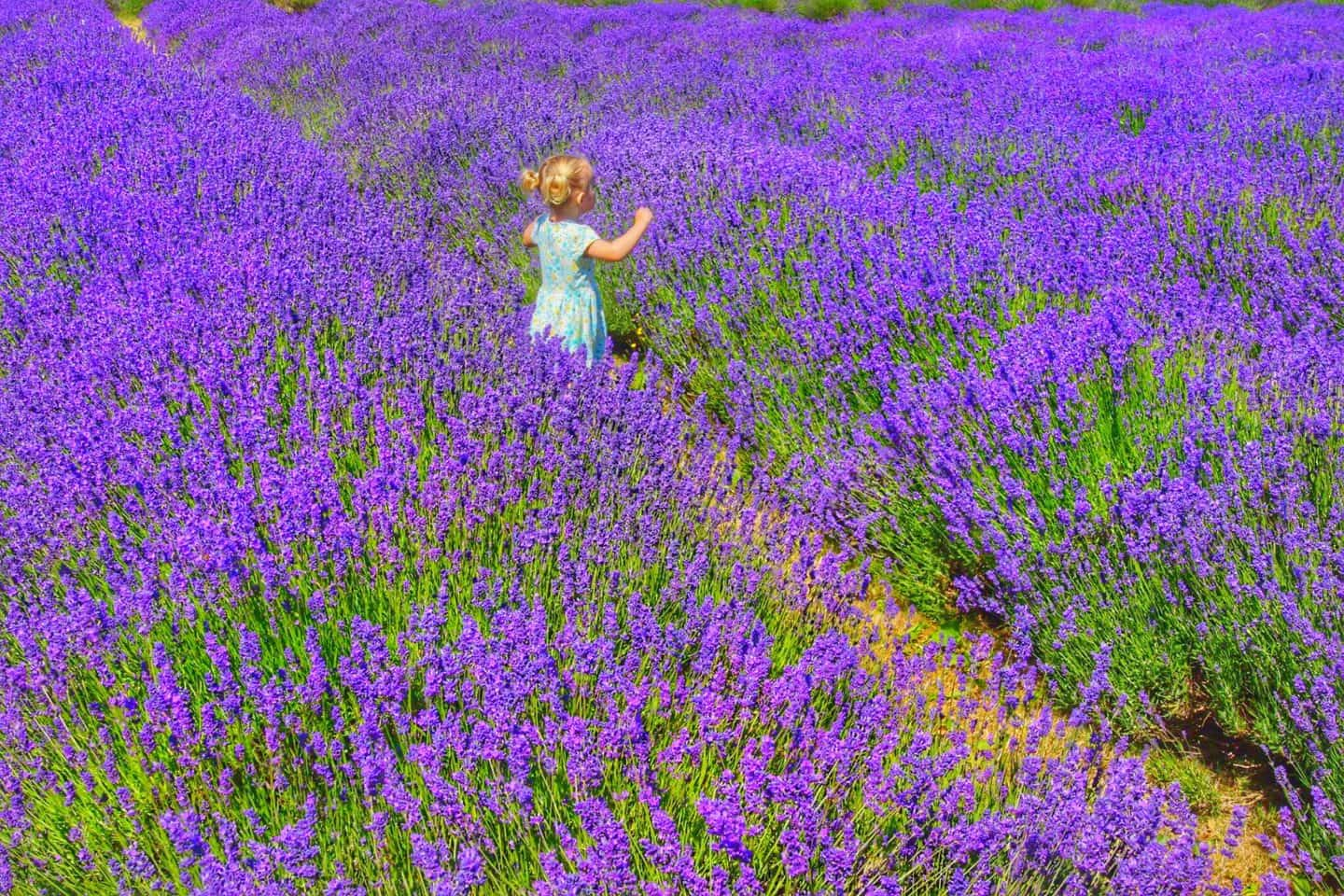 Where to see Lavender Fields Near London