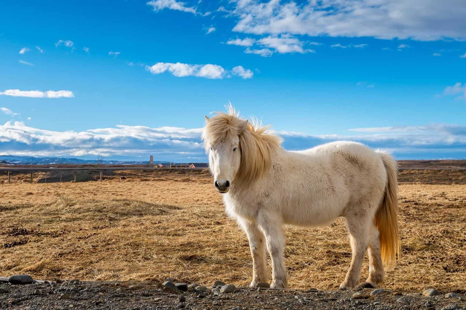 Best Things to do in Iceland with Kids - Seeing Icelandic Horses