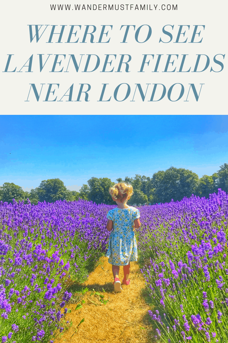 Where to see lavender fields near London, best lavender fields near London, London Lavender Fields, Lavender fields UK #lavenderfieldslondon #londonlavenderfield #uklavenderfield #lavenderfieldsuk