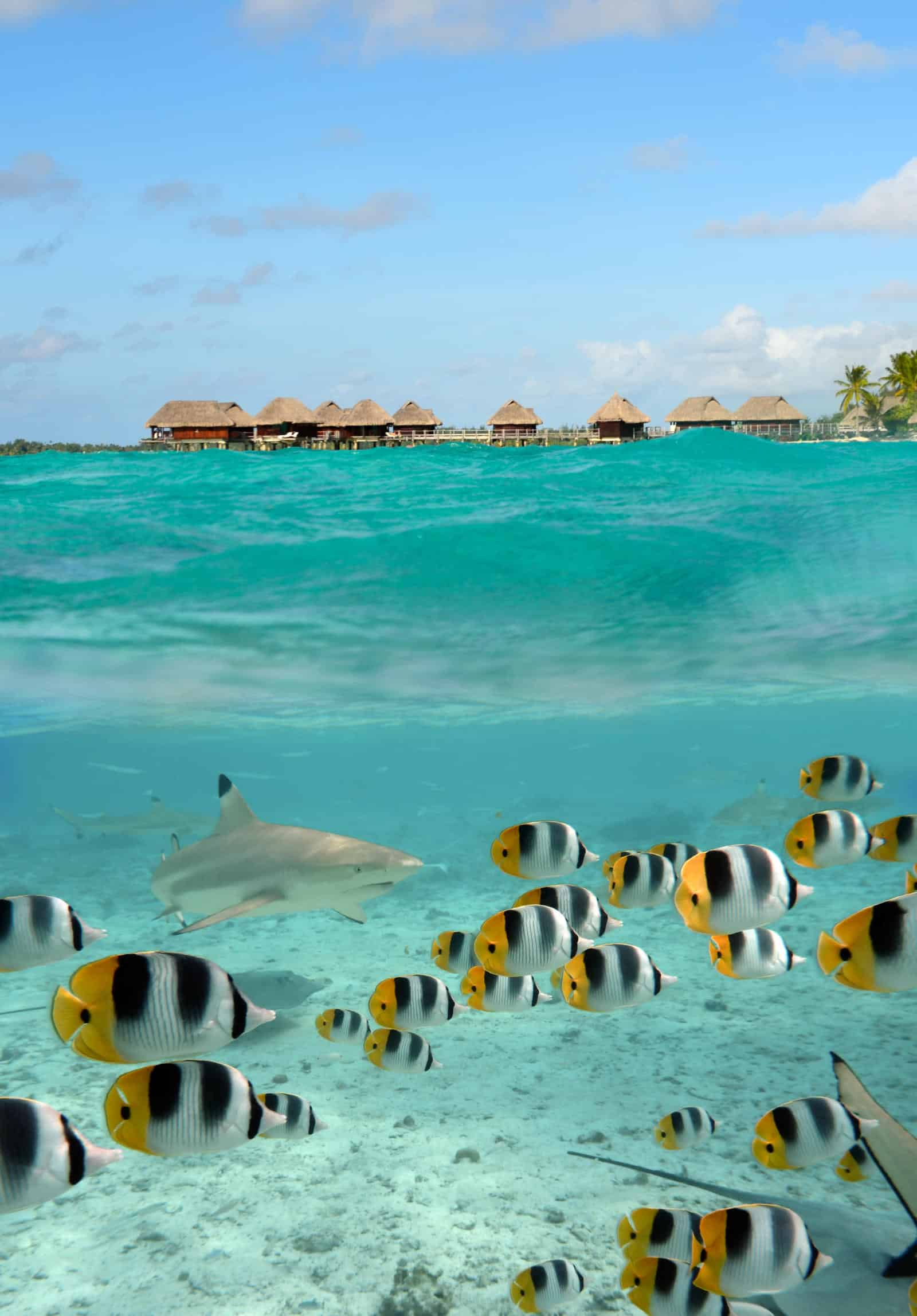 What has the best snorkelling Bora Bora or Moorea - Shark and butterfly fish at Bora Bora