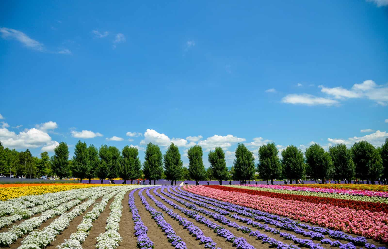 Furano Flower Fields - Why the best time to visit Hokkaido is Summer